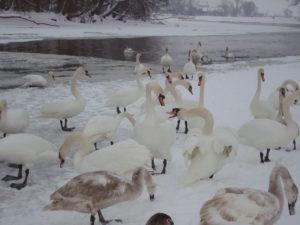 Дикие лебеди прилетели на зимовку в Украину. Подкармливаем птичек