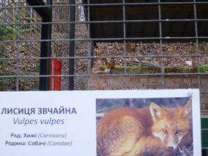 Лисица в зоопарке